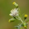 Senecio vulgaris - Klein kruiskruid, Groundsel