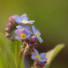 Myosotis sylvatica | Bosvergeetmenietje - Wood forget-me-not