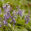 Hyacinthoides non-scripta | Wilde hyacint - Bluebell
