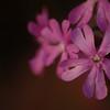 Silene dioica | Dagkoekoeksbloem - Red Campion