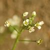Capsella bursa-pastoris | Herderstasje - Shepherd's purse