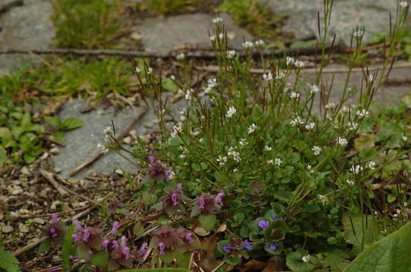 Cardamine hirsuta | Kleine veldkers - Hairy bittercress<br /> Lamium purpureum | Paarse dovenetel - Red deadnettle<br /> Glechoma hederacea | Hondsdraf - Ground ivy