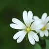 Stellaria holostea | Grote muur - Greater Stitchwort