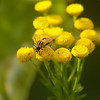 Tanacetum vulgare - boerenwormkruid