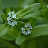 Valerianella locusta - Veldsla