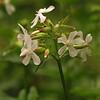 Saponaria officinalis | Zeepkruid - Soapwort