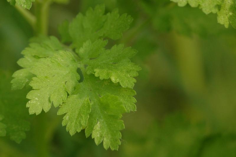 Tanacetum parthenium - Moederkruid (blad)