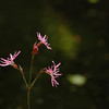 Lychnis flos-cuculi | Echte koekoeksbloem - Ragged robin