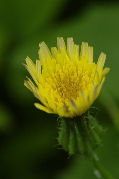 Sonchus oleraceus - Gewone melkdistel