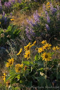 Lupine and Balsamroot