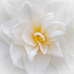Sweet Daffodil