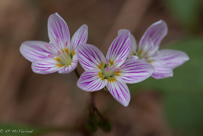 Carolina Spring Beauty (Claytonia caroliniana)