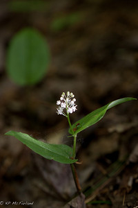 Canada Mayflower (False Lily-of-the-valley) (Maianthemum canadense)