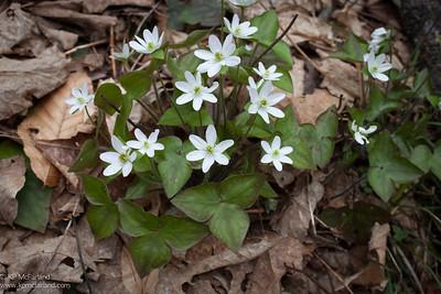 Sharp-Lobed Hepatica (Hepatica nobilis acuta) (Hepatica acutiloba)