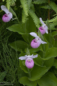 Showy Lady's-slipper (Cypripedium reginae)