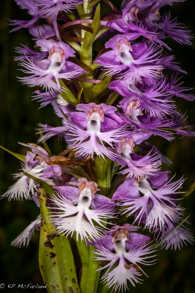 greater purple fringed bog-orchid (Platanthera grandiflora)