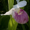 Showy Lady's-slipper (Cypripedium reginae) in early morning light in Eshqua Bog, Hartland, Vermont.