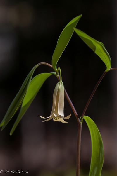 Sessile Bellwort (Wild Oats) (Uvularia sessilifolia)