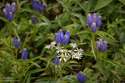 narrow-leaved gentian (Gentiana linearis)
