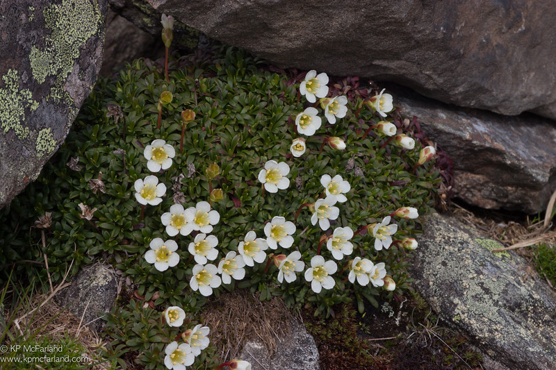 diapensia (Diapensia lapponica) seeding