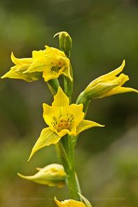 Gavilea gladysie, Fam. Orchidaceae