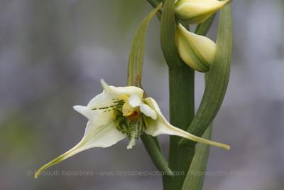 Gavilea araucana, Fam. Orchidaceae