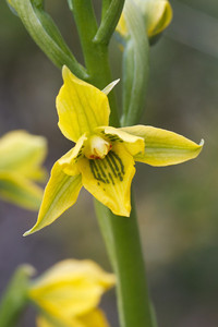 Gavilea gladysiae, Fam. Orchidaceae