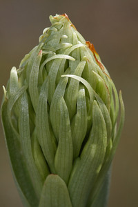 Chloraea leptopetala, Fam. Orchidaceae