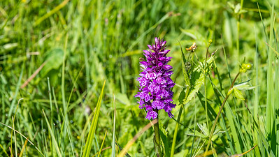 Broad-leaved Marsh Orchid