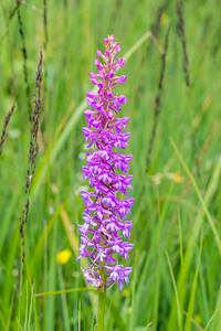 Marsh Fragrant Orchid
