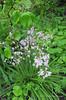 Wood hyacinths
