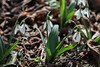 More of the Galanthus
