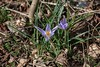 First Crocus, A Species One