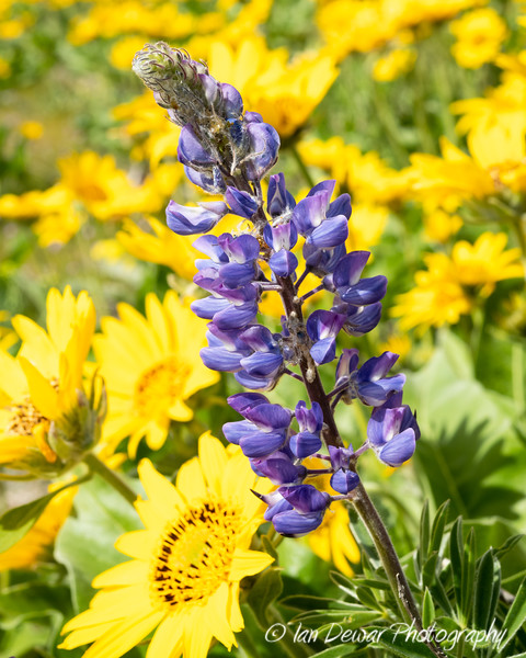 Lupine and Balsamroot wildflowers