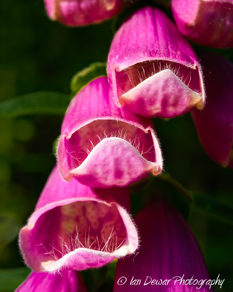 Common Foxglove flowers