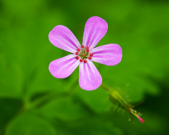 Herb Robert Flower