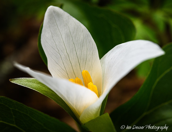Flower of a Western White Trillium opens