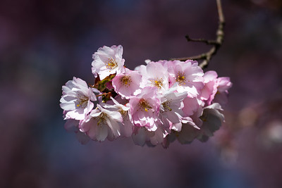 Suspended Cherry Blossoms