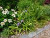 White peony, blue Iris tectorum, white Bletilla, blue Amsonia
