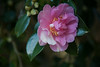 Camellia sasanqua 'Showa-No-Sakae'