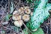 Arum italicum seedling