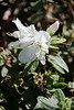 Azalea (Rhododendron) August to Frost (a Southern Indica type)