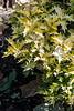 Osmanthus heterophyllus Kembu