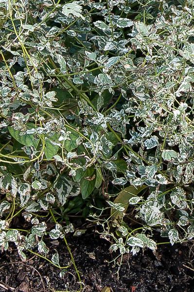 Caryopteris divaricata Snow Fairy