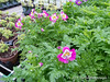 Schizanthus- annual- needs cool; for Flower Show