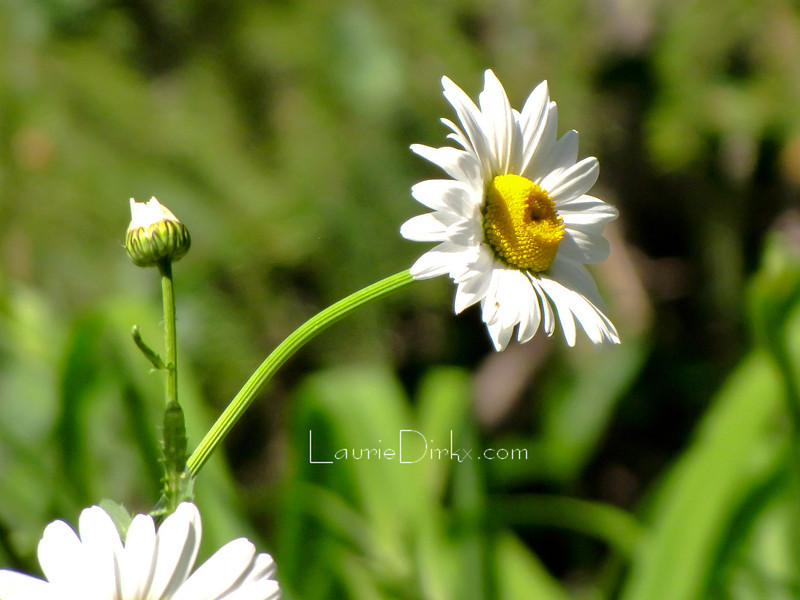 A Daisy with something to say.