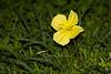 Yellow Evening Primrose (Oenothera flava)