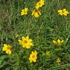 Tickseed Sunflower (Bidens coronata)
