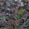 Beechdrops (Epifagus virginiana)