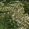 Chinese Bush Clover aka Sericea (Lespedeza cuneata)